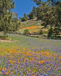 Figueroa Mountain Poppy and Lupine Fields, Los Padres National Forest California USA -- one of two most popular spots socal residents gravitate to for spring wildflower peeping // localadventurer.com