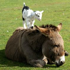 Donkey photo | Colin the baby goat stands on the back of a donkey named Jenny at the ...