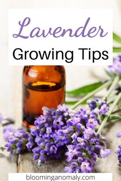 Growing lavender is a great way to pass the time while at home. Lavender can grow well in pots indoors or outdoors in a section of your garden. Learn about the different types of lavender you can grow and more in this post. #growlavender #growinglavender #lavenderherb #howtogrowlavender #lavenderplant Lavender Uses, Dried Lavender Flowers, Growing Lavender, Lavender Sachets, Growing Vegetables At Home, Growing Herbs, Gardening For Beginners, Gardening Tips