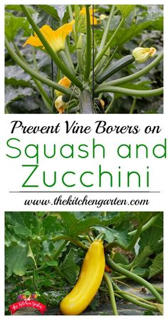 Use these three tips to keep your squash and zucchini from meeting an untimely death. Protect them from vine squash borers and get a better harvest! tips squashes How to Protect Squash and Zucchini from Vine Squash Borers Slugs In Garden, Garden Pests, Garden Insects, Garden Hose, Rockery Garden, Garden Landscaping, Home Vegetable Garden, Tomato Garden, Veggie Gardens