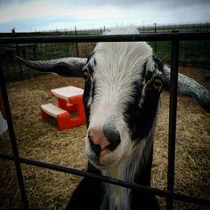 #mininubian  #goat @ #countryhomefarm