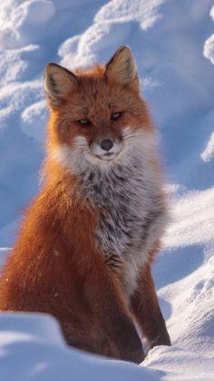 720x1280 wallpaper Red fox, stare, wild, furry animal