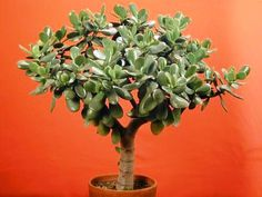 Jade Tree Plant | jade tree is an evergreen succulent native to south africa the jade ...