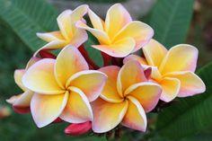 https://flic.kr/p/sRd2u2   Plumeria Hawaiian Rose