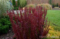 Berberys - Berberis - strona 10 - Forum ogrodnicze - Ogrodowisko