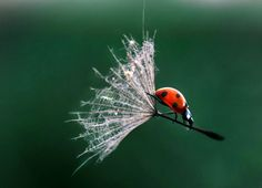 The macro world never fails to amaze: this ladybird captured holding on to a dandelion stalk like a broomstick was taken by a young photogra...