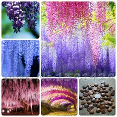 Find More Bonsai Information about 40 pcs 4 colours of Wisteria Flower Seeds,Purple yellow white pink Wisteria Seeds, + Mysterious Gift, bonsai seed, free shipping,High Quality seed counter,China seed wholesaler Suppliers, Cheap seed mill from flower fruit vegetables Seed bonsai store on Aliexpress.com