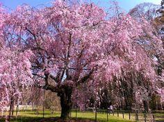 Sakura(Cherry Blossoms) - Kyoto, Japan