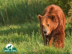 Ours brun d'Europe - Parc de Sainte-Croix