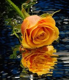 orange rose in puddle of water