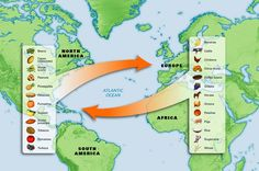 Age of Atlantic Exploration - Columbian Exchange - The Columbian Exchange was a period of exchange between new and old worlds in which goods and cultural ideas, even diseases were exchanged between civilizations. 4th Grade Social Studies, Social Studies Classroom, History Classroom, Teaching Social Studies, Teaching History, Early Explorers, Explorers Unit, 8th Grade History, School Supplies
