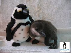 African Penguin Chick at SANCCOB