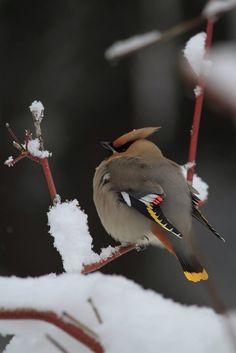 Waxwing in winter