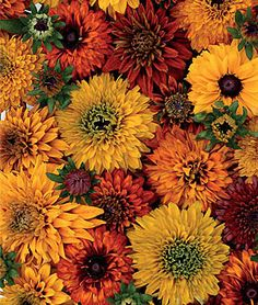 Rudbeckia -- Double Mix  Nonstop color from late June to first frost. The cheerful mix produces a nonstop show of glowing color in shades of orange, yellow and copper red from late June to first frost. Dazzling as cut flowers.     Uses: Beds, Borders, Cut Flowers     Sun: Full Sun     Height: 18-20  inches    Spread: 18-24  inches