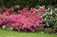azaleas in pots . azaleas and hydrangeas together . Garden Web, Veg Garden, Fruit Garden, Lawn And Garden, Garden Plants, Balcony Garden, Azaleas Landscaping, Shade Landscaping, Front Yard Landscaping