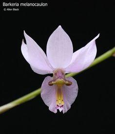 ORQUIDEAS MEXICANAS: Barkeria melanocaulon - E