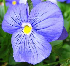 Purple Blue Pansey Photograph by Stephanie Forrer-Harbridge