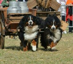 Berners pulling a milk cart and still smiling!