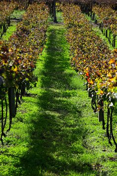 Natureza em perspectiva (Vineyard) by Miriam Cardoso de Souza, Serra Gaúcha, Brazil, via Flickr