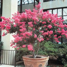 Decorative crape myrtle blooms in a hardy dwarf variety. From midsummer to late fall, bright pink flower panicles adorn this small tree. Grows to 10 ft. with a 5 to 6 ft. spread. Ornamental bark provides winter interest. Best in full sun. Potted. Zones 6-9.