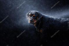 Porträtt av Rottweiler i regnet — Stockbild #114984598