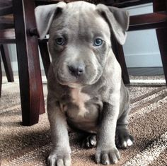 What to know about blue nose pitbull puppies? It's essential to raise your Blue Nose Pitbull puppy with consistency, leadership, etc like other dog breeds. Blue Nose Pitbull Puppies, Pitbull Puppies For Sale, Pit Puppies, Cute Dogs And Puppies, Doggies, Puppy Pitbulls, Canis Lupus, Sweet Dogs, Bull Terrier Dog