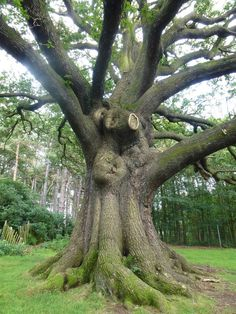 a_majestic_oak_tree_in_park____trunk_by_srtw-d5g83z4.jpg (774×1032)