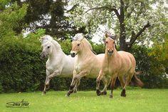 Fjord horse troika