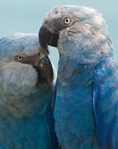 The Spix's Macaw is the rarest species of parrot worldwide. Two of the birds were handed over to a Brazilian conservation organization in February 2013 with the hope of returning them to their natural habitat.  Animal Tracks: April 24, 13.  #14 NBCNews.com