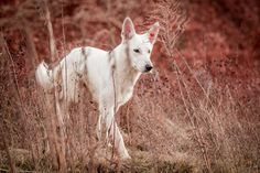 Red and White by BlackPepperPhotos on DeviantArt White Shepherd, German Shepherd Dogs, Great Smiles, Cute Dogs, Dogs And Puppies, Goats, Red And White, Animals, Deviantart