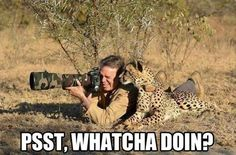 Trying to sneak a picture of a cheetah!