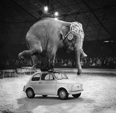 Elephant on a fiat 500. Always knew it was a tough little car.
