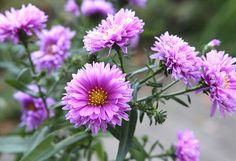Höst aster `Patricia Ballard` , Aster novi-belgii 70 - 100 cm, trivs i sol el. halvskugga i olika perenngrupper. Blommar länge i juli - oktober.