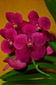 Vanda Prchids   Vanda Orchid - Flowers A to Z