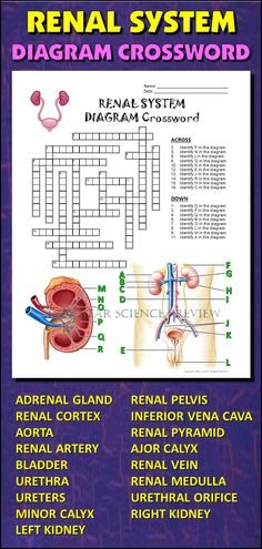 Heart crossword with diagram editable student learning help students learn and remember the parts of the renal system using this diagram crossword ccuart Gallery