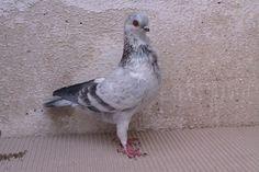 Italian Owl pigeon - Wikipedia