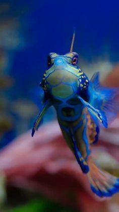 Synchiropus splendidus 1 Luc Viatour - Мандаринка (рыба) —Synchiropus splendidus - Mandarinfish in aquarium-Muséum Liège (Belgium) Underwater Creatures, Underwater Life, Ocean Creatures, Reef Aquarium, Saltwater Aquarium, Saltwater Tank, Poisson Mandarin, Goby Fish, Fauna Marina