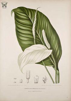 Peace Lily, Spathiphyllum commutatum [as Spathiphyllopsis minahassae] Fleurs, fruits et feuillages choisis de l'ille de Java -peints d'après nature par Berthe Hoola van Nooten (1880)