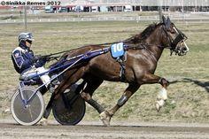 Finnhorse stallion Vieskin Virta