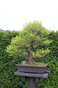 Ulmus Parvifolia Bonsai | Flickr - Photo Sharing!