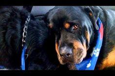 Conmovedor: Un Rottweiler llora desconsolado por la muerte de su hermano (Video)