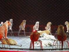 BIG-CAT EXPERT EXPOSES THE MIND-NUMBING, PAINFUL REALITY OF TIGERS AT RINGLING BROS.