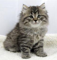 Boo ~ Mystic Melody Siberian Cats