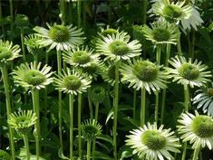 Echinacea purpurea Green Jewel Coneflower