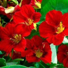 Nasturtium Double Gleam Mahogany Flower Seeds by UnderTheSunSeeds | VINING: 36 - 60 inches long or more