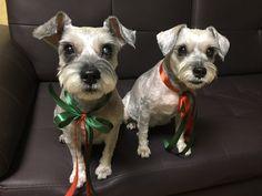 Tourie & Woorie Mini Schnauzers' sisters. My love~~2016 Christmas
