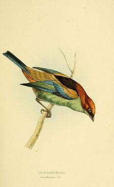 Vintage Bird Illustration, Engraving Illustration, Love Illustration, Botanical Illustration, Nature Prints, Bird Prints, Vintage Birds, Watercolor Animals, Animal Tattoos
