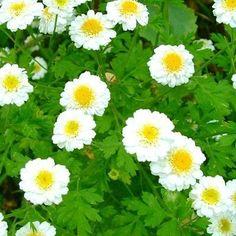 Contre les problèmes digestifs, il y a la Camomille romaine ! Dans la grande famille des camomilles, la Romaine est la plus jolie avec ses fleurs blanches décoratives.Elle offre un feuillage persistant et est tapissante. Rapidement, elle fera un joli couvre sol.Durant l'été, on pourra profiter de la floraison blanche de la Camomille romaine. La Camomille romaine se plaît dans les endroits ensoleillés, où sa floraison est abondante.