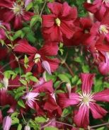 Madame Julia Correvon Clematis (Clematis viticella 'Madame Julia Correvon') - decidious vine, requires support, zones 4-9, partial to full sun, minimum watering: weekly, fast grower 8' to 12' long, Red Blooms: midsummer, fall color/interest
