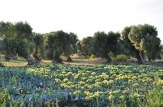 Olive grove and broccoli field. Olives, Nature, Vineyard, Explore, Plants, Travel, Outdoor, Broccoli, Heel